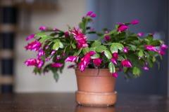 Piękny różowy Bożenarodzeniowy kaktus w glinianym garnku Fotografia Stock