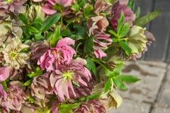 Piękny różowy bukiet czerwieni i menchii helleborus kwitnie zbliżenie Zdjęcia Royalty Free