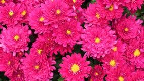 Piękny różowy chryzantema kwiat Obrazy Stock