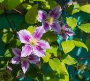Piękny różowy clematis zdjęcie royalty free