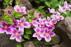Piękny różowy clematis cultivar 'Piilu' zdjęcia stock