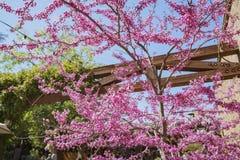Piękny różowy czereśniowego drzewa okwitnięcie przy Descanso ogródem Zdjęcie Stock