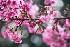 Piękny różowy czereśniowego okwitnięcia kwiat Zdjęcie Royalty Free