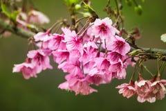 Piękny różowy czereśniowego okwitnięcia kwiat Obraz Stock
