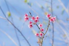 Piękny różowy czereśniowego okwitnięcia kwiat na gałąź Obraz Royalty Free