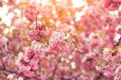 Piękny różowy czereśniowego okwitnięcia kwiat przy pełnym kwiatem Sakura Obrazy Stock
