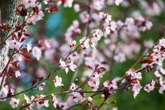 Piękny różowy czereśniowego okwitnięcia kwiat przy pełnym kwiatem w wiośnie Fotografia Stock