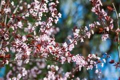 Piękny różowy czereśniowego okwitnięcia kwiat przy pełnym kwiatem w wiośnie Obrazy Royalty Free