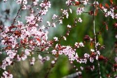 Piękny różowy czereśniowego okwitnięcia kwiat przy pełnym kwiatem w wiośnie Obrazy Stock