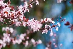 Piękny różowy czereśniowego okwitnięcia kwiat przy pełnym kwiatem w wiośnie w piękny pogodnym Obraz Stock