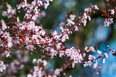 Piękny różowy czereśniowego okwitnięcia kwiat przy pełnym kwiatem w wiośnie w piękny pogodnym Fotografia Royalty Free