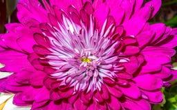 Piękny różowy dalia kwiat Obrazy Stock