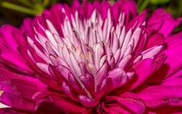 Piękny różowy dalia kwiat Obrazy Royalty Free