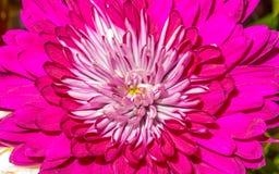 Piękny różowy dalia kwiat Fotografia Royalty Free