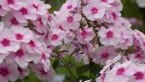 Piękny różowy floksa kwiatostanu zbliżenie Menchia kwiaty Bush zakończenie 4K zbiory
