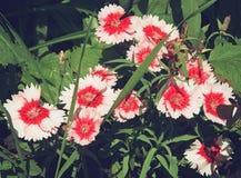 Piękny różowy goździk kwitnie w flowerbed Obraz Royalty Free