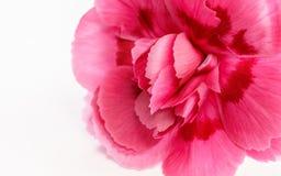 Piękny różowy goździka kwiat Obraz Royalty Free