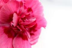 Piękny różowy goździka kwiat Zdjęcia Stock