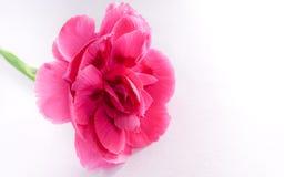 Piękny różowy goździka kwiat Zdjęcie Royalty Free