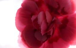 Piękny różowy goździka kwiat zdjęcia royalty free