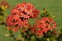 Piękny Różowy Hawajskiej wyspy kwiat Fotografia Royalty Free