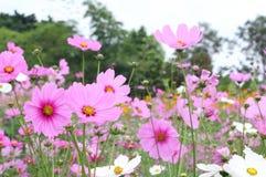 Piękny Różowy kosmos kwitnie kwitnienie w ogródzie zdjęcie stock