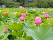 Piękny różowy lotos w Ueno parku, Tokio, Japonia Zdjęcia Stock
