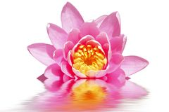 Piękny różowy lotosowy kwiat Zdjęcie Stock