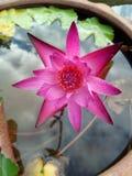 Piękny różowy lotosowy wizerunek Thailand Fotografia Royalty Free
