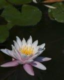 Piękny Różowy Lotus, roślina wodna z odbiciem Obraz Royalty Free