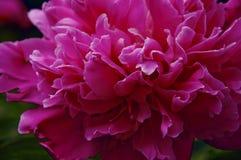 Piękny różowy peoni zakończenie, Zdjęcie Stock