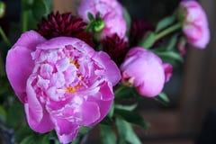 Piękny różowy peonia Zdjęcie Stock