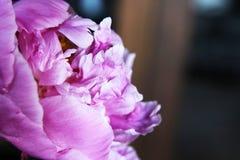 Piękny różowy peonia Fotografia Stock