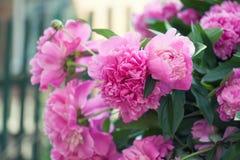 Piękny różowy peonia kwiatów ogródu wciąż życie Kwitnąca fiołkowa kwiatonośna roślina Płytka głębia pole fotografia Obrazy Royalty Free