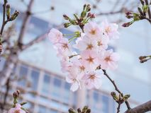 Piękny Różowy Sakura Kwitnie w Japonia Zdjęcie Stock