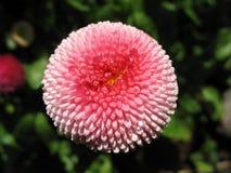 Piękny różowy stokrotka kwiatu zbliżenie Zdjęcie Royalty Free