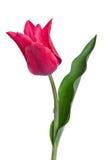 Piękny różowy tullip Obraz Stock