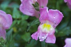 Piękny Różowy wyżlin Z Raindrops Zdjęcie Stock