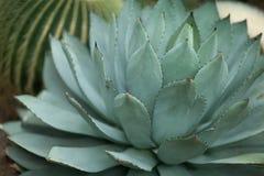 Piękny r agawa kaktus, sukkulent, zakończenie up Obrazy Stock