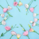 Piękny ramowy skład z eustoma kwitnie na koloru tle Zdjęcia Royalty Free