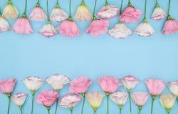 Piękny ramowy skład z eustoma kwitnie na koloru tle Obrazy Royalty Free