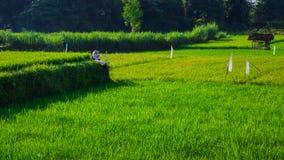 Piękny ranku światła słonecznego Rice pole zdjęcia royalty free