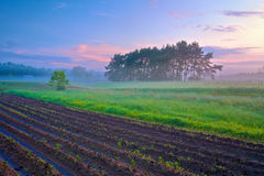 Piękny ranku krajobraz z polem i drzewa w mgle. Fotografia Stock