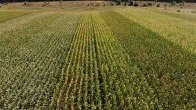 Piękny rolniczy krajobraz zieleń wiosłuje w otwartej śródpolnej kukurudzy zbiory wideo