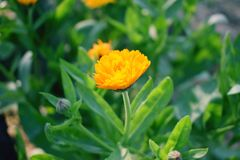 Piękny romantyczny żółty kwiat Fotografia Stock