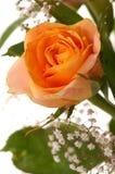 piękny rose żółty Zdjęcie Royalty Free