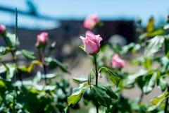 Piękny Rosebud walentynki tło ty love/A fragrant róży kwitnącej w lato ogródzie Obraz Stock