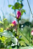 Piękny Rosebud walentynki tło ty love/A fragrant róży kwitnącej w lato ogródzie Obrazy Royalty Free