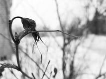 Piękny rosehip na krzaku w zimie na tle śnieg obraz stock