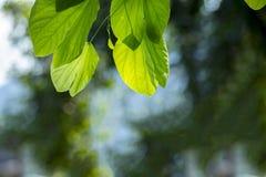 Piękny słońce penetruje liście storczykowy drzewo zdjęcia royalty free